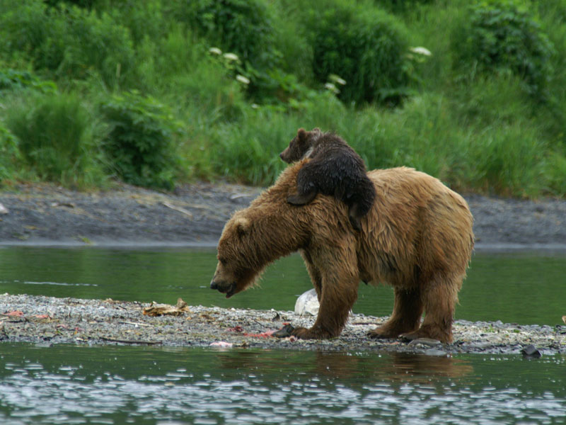 Alaska Land Tour with Arctic Circle Tour | Redoubt Bay Bear Viewing