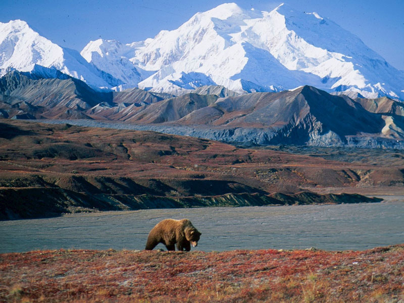 Alaska Trains Glaciers & Denali | Grizzly Bear Denali National Park