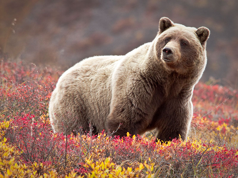 Best of Alaska Rail, Bears & Glaciers | Grizzly Bear in Denali National Park