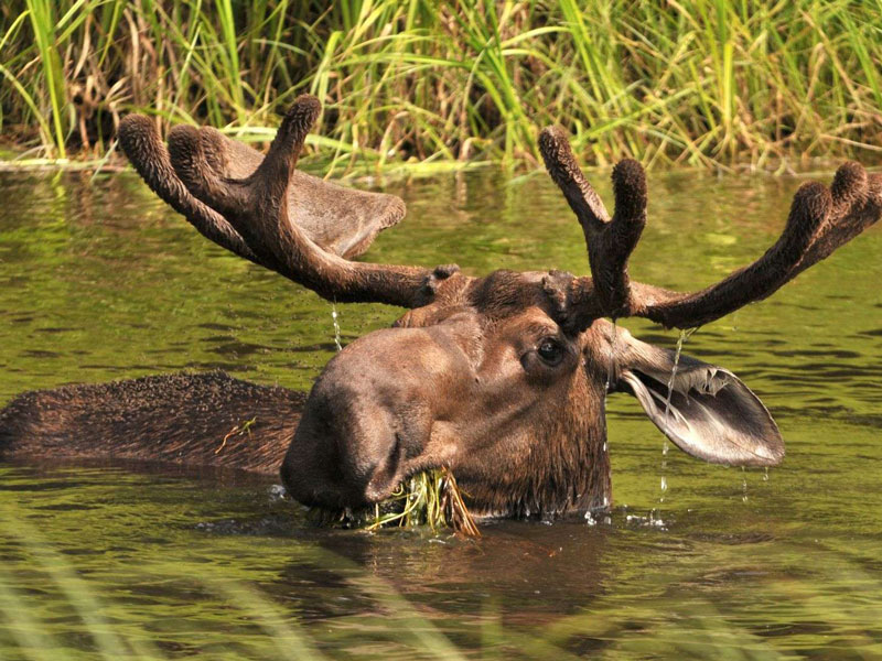 Alaska Train Vacations | Moose Denali National Park